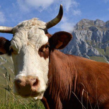 Vandaag wandelen de koeien…
